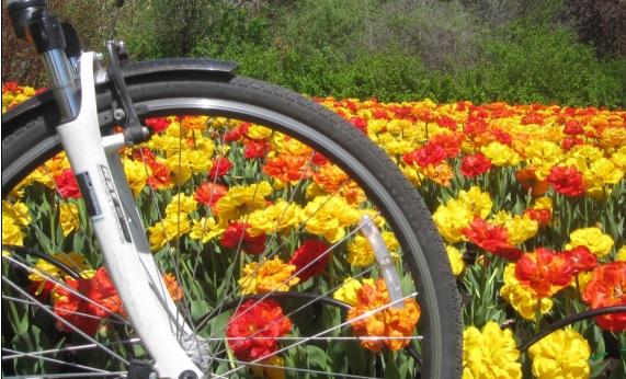 tulipstwowheels